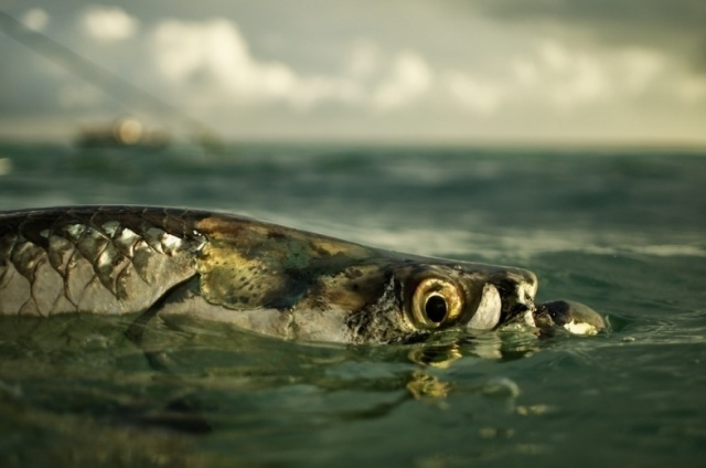 Tarpon and Bonefish Become Catch and Release in the state of Florida
