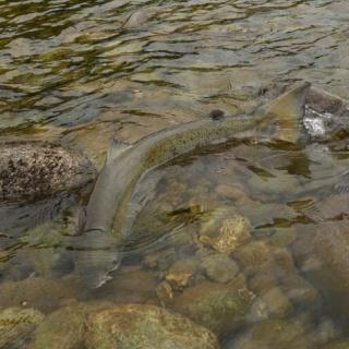 Salmon del Atlántico en Noruega (Orkla)
