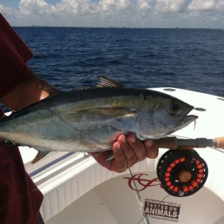 Nice little Black Fin Tuna