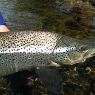 Nice silver brown trout
