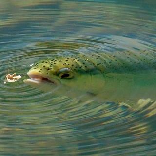 Trucha Arco Iris, pesca a pez visto. Río Malleo, Junín de los Andes, Patagonia Argentina...
