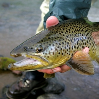 Brown trout, C&R at River Svarta in Iceland - http://anglers.is/index.php/trout-and-arctic-char-rivers/svarta-river