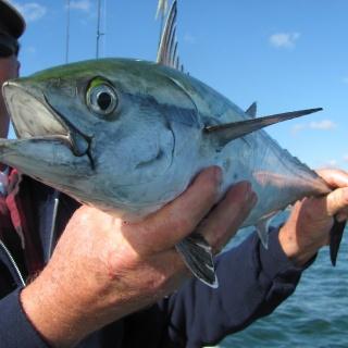 False Albacore Cape Cod