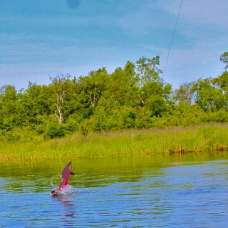 A blush king rocketing out of the water like most do on the fly!