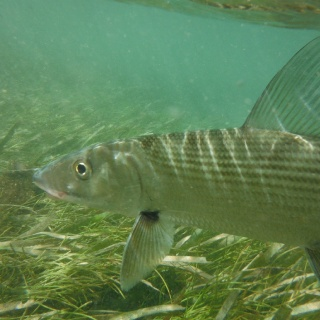 Hello there Mr. Bonefish. - Mango Creek Lodge