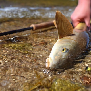 Fish, rod and fly, the shot that says it all!