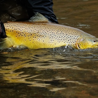 Big Brown Trout Released Montana