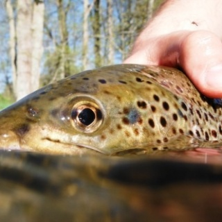 Release of a large brown trout.