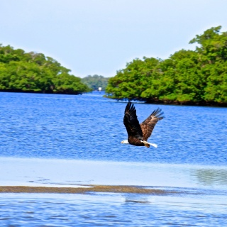Bald Eagle skimming for some lunch