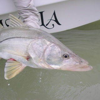 Nice Xcalak Snook