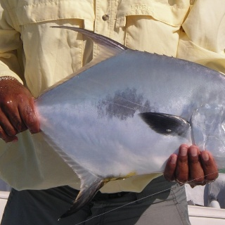 A typical Chetumal Bay Permit