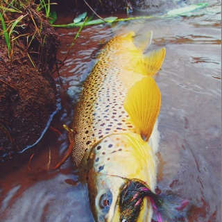 Animas River streamer destroyer.  Andy McKinley photo.