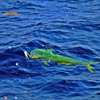 Fishing a Bull Dorado in Cozumel, Mexico. www.pescacozumel.com