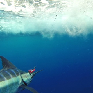 Underwater shot of a Blue Marlin in Cozumel, Mexico. www.pescacozumel.com