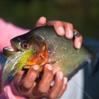 Piranha Xupita, one specie among many other