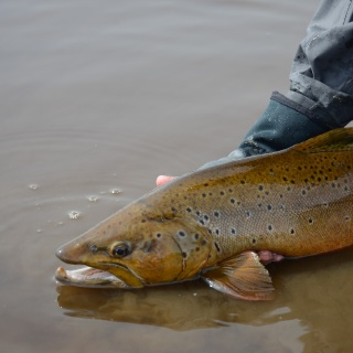 Go make babies Mr. Brownie. - Fly fishing Lakutaia Lodge
