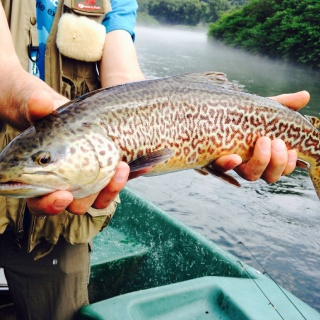 "When the dam spills, the big trout get active. 20"" Tiger trout, on the West Branch of the Delaware River."