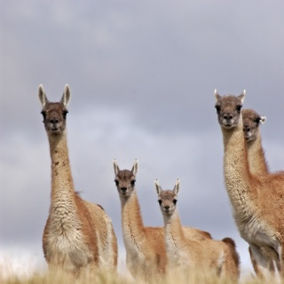 Guanacos at the Rio Grande