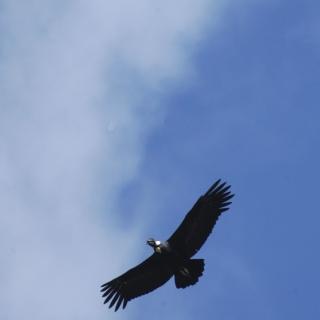 Condor at the Rio Grande