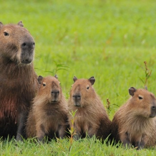 A family of capybaras - Pira Lodge