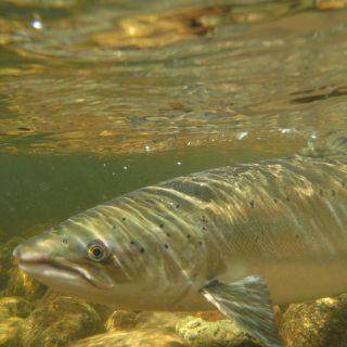 Underwater shot of big Gaula salmon before release