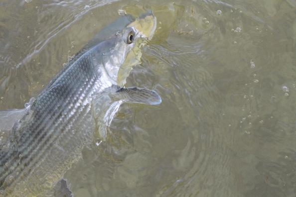 Release de bonefish
