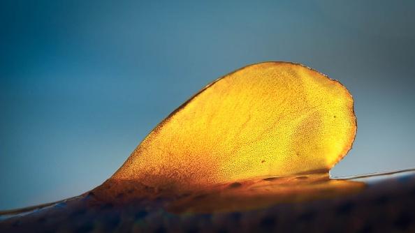 Dorado adipose in the morning light.