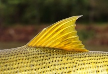 Good Fly-fishing Situation of Golden Dorado shared by <strong>Chip</strong> Drozenski