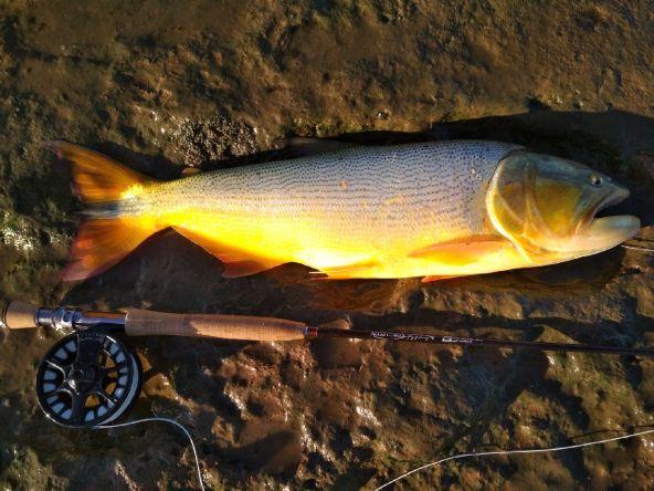 Dorado de 61 cm pescado en el RDP a pez visto...
