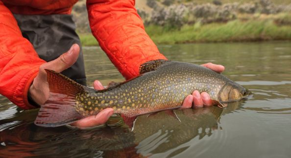 Healthy and colorful brook trout form the Route of the Spring Creeks