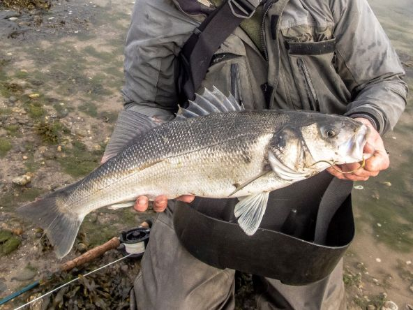 Hi, I participate in inland fisheries Ireland bass conservation programme, I caught, & floy tagged this 68cm bass on 28-4-18 at a location in Wexford, the fish was recaptured last Sunday 13-1-19 @70.8cms same location, at liberty for 260 days grew 2.8cm,