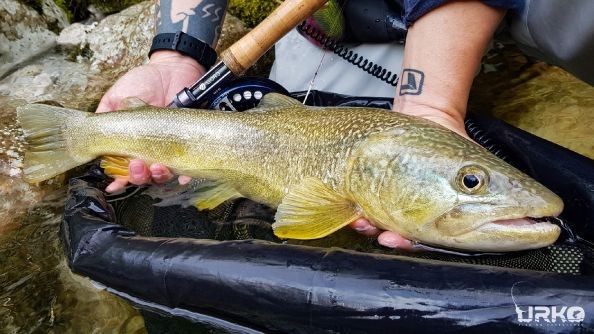 Marble trout - ghost of Slovenian rivers and streams