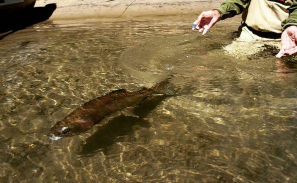 Catch and Release - Chilean Patagonia  . . . #chile #patagonia #patagoniaflyfishing #matapiojolodge #fishingtrips #flyfishing #flyfishinglife #catchandrelease #trout #photooftheday