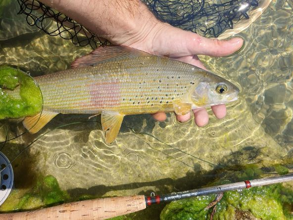Grayling from Soča river