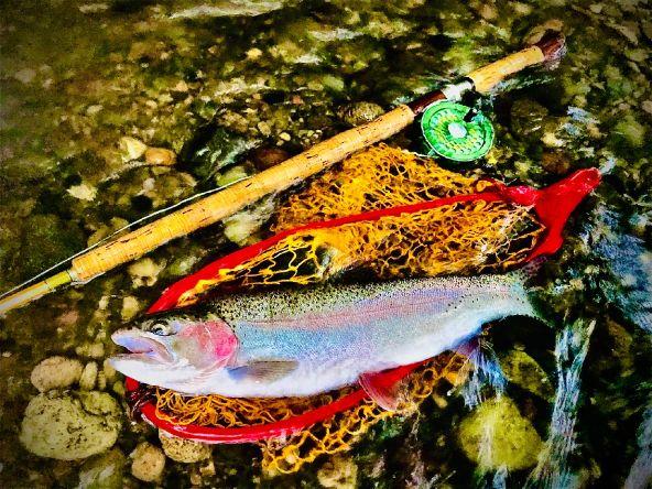 Wild Rainbow trout.